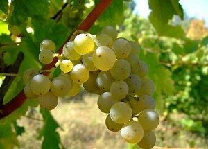 SPRINGFIELD ESTATE FIREFINCH SAUVIGNON BLANC奔翠白葡萄酒750ml