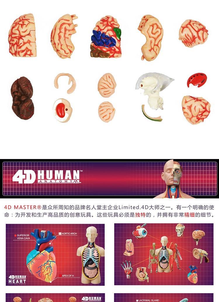 4d master 人体仿真拼装模型-大脑结构拼装26056