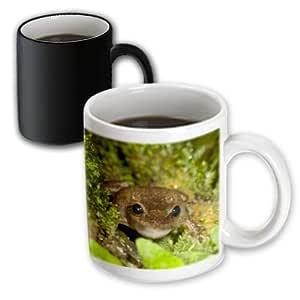 3dRose mug_72313_3 Common Coqui Frog, El Yunque Nf, Puerto Rico-Ca27 Mpr0000 Maresa Pryor Magic Transforming Mug, 11-Ounce