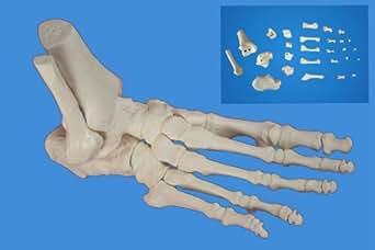 Wellden *脚骨架模型,分明并组装,适用人群尺寸