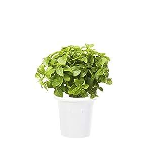 Click & Grow 补充装 3 件装适用于智能草本花园 Dwarf Basil SHGR21x3