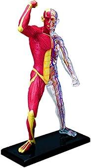 青岛文化教材社 Skynet 立体拼图 4D VISION 人体解剖 *3 肌肉和*解剖模型