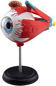 青岛文化教材社 Skynet 立体拼图 4D VISION 人体解剖 No.02 眼球解剖模型