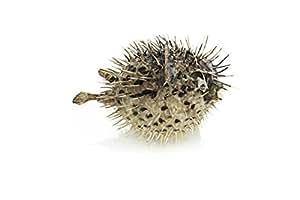 """1 个Porcupine Blowfish   Collector Fish   Porcupine Blowfish 用于展示或装饰  航海压碎交易TM 棕色 6-7"""" NCT"""