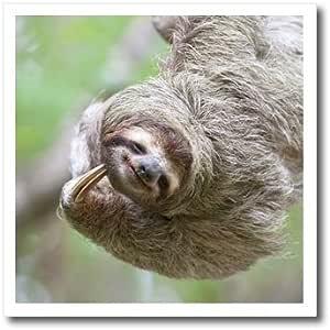 3dRose ht_87171_1 棕色加油树懒野生物,科罗华多哥斯达黎加-Jim Goldstein,白色热烫转印,20.32 x 20.32 cm