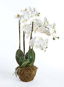 Phalaenopsis Drop-In,30 英寸