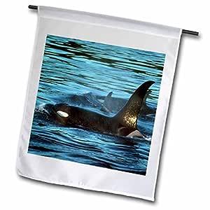 "3drose danita delimont–鲸鱼–Killer 鲸鱼或 Orca ,圣胡安群岛,华盛顿–us48ksc0024–Kevin schafer–旗帜 18"" x 27"""