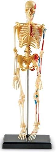 Learning Resources 骨骼模型
