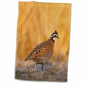 3drose danita delimont–鸟–北 bobwhite quail 鸟,男性步行–us44ldi0537–LARRY Ditto–毛巾