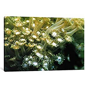 iCanvasART 7202-1PC3-18x12 Goniopora Green Coral Canvas Print by Unknown Artist, 0.75 x 18 x 12-Inch