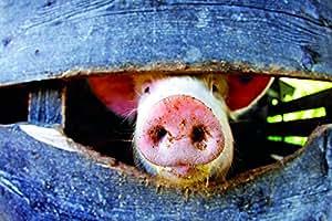 """小猪鼻子海报印花 17"""" x 11"""""""