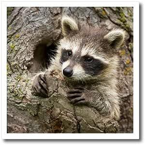 danita delimont–jaynes 画廊–animals–美国,明尼苏达,砂岩 浣熊 IN A 中空 Tree .–熨烫热转印