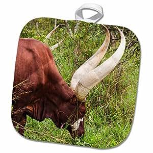 3D Rose Watusi Cattle。 Mbarara-Ankole-Uganda。 锅架,8 x 8