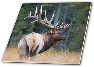 danita delimont–鹿–加拿大艾伯塔省, 公牛石头山麋鹿 during 秋季 rut Jasper NP .–瓷砖