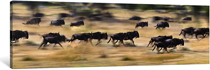 """iCanvasART Herd of Wildebeasts Running in a Field, Tanzania Canvas Print by Panoramic Images, 36"""" X 12""""/1.5"""" Deep"""
