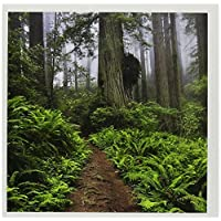 3drose weg,giant redwood trees,红木 np,加利福尼亚 - us05 rkl0040 - raymond Klass - 贺卡,15.2 x 15.2 cm,套装 12 (gc _ 88620 _ 2)