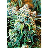 CANNABIS MARIJUANA WEED PLANT GIANT ART PRINT HOME DECOR NEW POSTER OZ1703