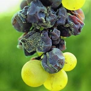 托卡伊葡萄品种
